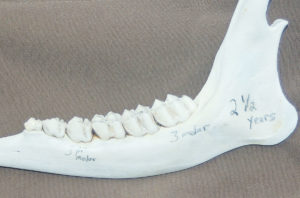 A 2 ½-year-old jawbone will show no wear on the crests of both the third premolar and the third molar. The third cusp of the third molar will be cone shaped with no wear.