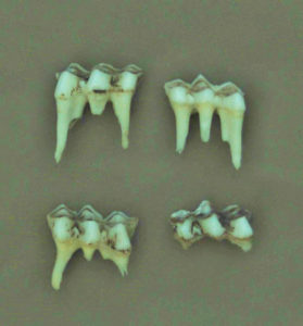 The three-cusped temporary premolar is the key for aging fawns and yearling deer. The three crests or cusps of these temporary teeth have already begun wearing down. At 18 months, these temporary premolars are replaced with permanent molars.