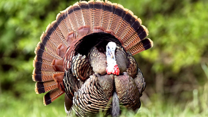 Several WMAS will offer draw hunts during Mississippi's 2019 spring turkey season, but the application deadline is Feb. 15.