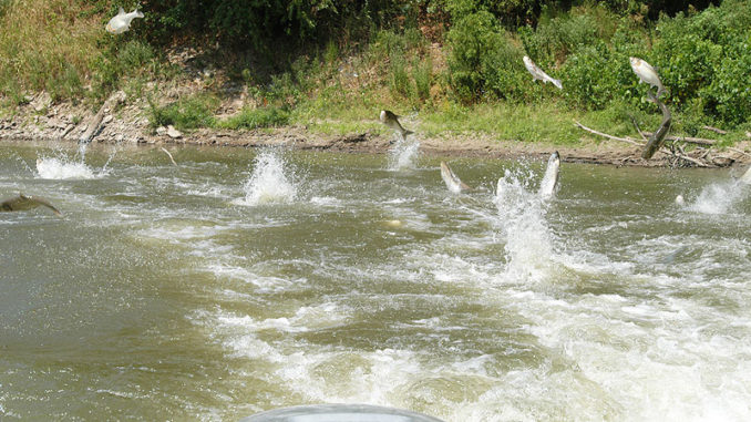 Schools of jumping silver carp are common on the Mississippi River. Silver carp are abundant in Kentucky Lake and have moved upstream into Pickwick Lake and down the Tenn-Tom Waterway to Bay Springs Lake.