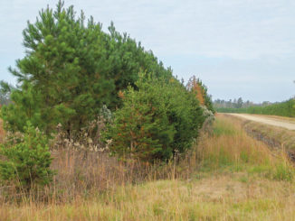 Planting and cultivating a buffer of thick trees or bushes around a popular feeding area for deer can give animals a little more security to venture into the picture during daylight hours.